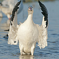 Snow Goose Flapping Skagit River by Kevin Schafer