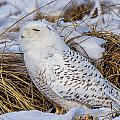 Snow Owl by Jose Cruz
