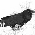 Snow Raven by Britt Runyon