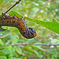 Snowberry Clearwing Hawk Moth Caterpillar - Hemaris Diffinis by Mother Nature