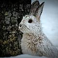 Snowshoe Hare by Rick and Dorla Harness