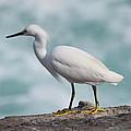 Snowy Egret by Eric Johansen