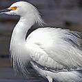 Snowy Egret by Jim Lucas