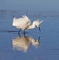 Snowy Egret by Kim Hojnacki