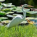 Snowy Egret by Stephen Whalen