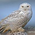 Snowy Owl by Anthony Mercieca