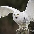 Snowy Owl by Les Palenik