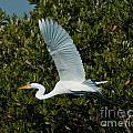 Soaring Snowy Egret by Stephen Whalen