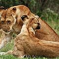 Sociable Lions   by Aidan Moran