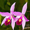 Sophronitis Orchid by Millard H. Sharp