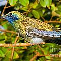 Sparkling Violet Ear Hummingbird by Millard H. Sharp