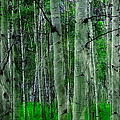 Spectacular Aspens by Cindy Greenstein