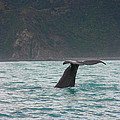 Sperm Whale Diving  by Amanda Stadther