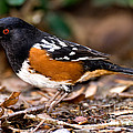 Spotted Towhee Pipilo Maculatus by Anthony Mercieca