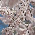 Spring Bloom by Alex Grichenko
