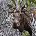 Spring Bull by Doug Lloyd