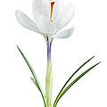 Spring Crocus Flower by Elena Elisseeva