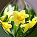 Spring Daffodils   by Tina  LeCour