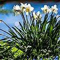 Spring Daffodils. Park Keukenhof by Jenny Rainbow
