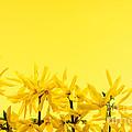 Spring Yellow Forsythia  by Elena Elisseeva