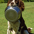 Springer Spaniel Dog by James Marchington
