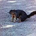 Squirrel by Karl Rose