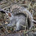 Squirrel With Peanut by Ken Keener