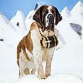 St. Bernard Dog by John Daniels