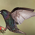 Stanley The Starling by Gerry Sibell