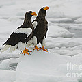 Stellers Sea Eagles by John Shaw