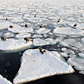 Steller's Sea Eagles On Sea Ice by Dr P. Marazzi