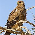Steppe Eagle Aquila Nipalensis by Eyal Bartov