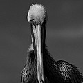 Stormy Pelican by Bruce Lundgren