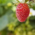 Strawberry by Paulo Goncalves