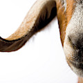 Studio Portrait Of A Mixed-breed Goat by Michael Winokur