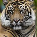 Sumatran Tiger by San Diego Zoo
