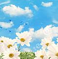 Summer Daisies by Amanda Elwell