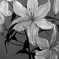 Summer Lilies by D L Gerring