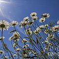 Sun Lit Daisies by Brian Roscorla