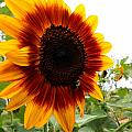 Sunflower  Beauty by Deborah Fay