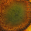 Sunflower Closeup by Alan Hutchins