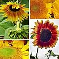 Sunflower Collage   by Susan Garren