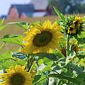 Sunflower Farm by Bruce Thompson