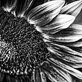 Sunflower by Joel  Bourgoin