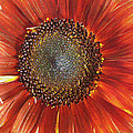 Sunflower by Kathy Bassett