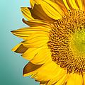 Sunflower by Mark Ashkenazi