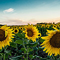 Sister Sunflowers by Melinda Ledsome