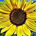 Sunflower by Nina Ficur Feenan