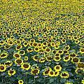 Sunflower Nirvana 13 by Allen Beatty