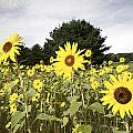 Sunflower Patch by Ray Summers Photography